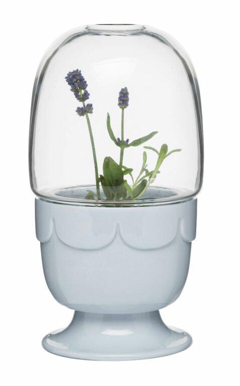 Green kasvihuone lasikannella, laventelin sininen